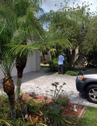Pruning a Pygmy Date Palm